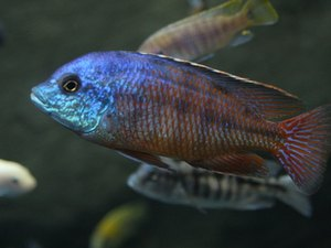 Maintaining a Healthy African Cichlid Tank
