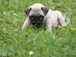 How to Take Care of Pug Pups