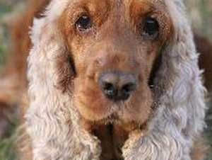 Skin Conditions in Cocker Spaniels