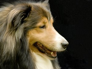 How to Trim Your Shetland Sheepdog's Fur