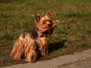 Yorkie Terrier Behavior