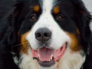 Health Problems of Bernese Mountain Dogs