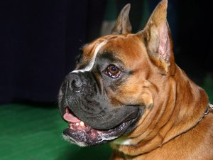 Digestive Disorders in Boxer Dogs