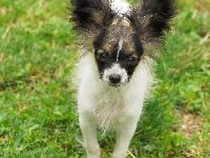 About Papillon Dogs