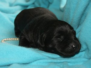 Labrador Retriever Puppy Growth