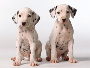 What Is the Cause if Two Male Puppies Are Suddenly Fighting?