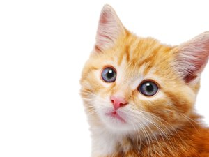 A Cat's Dirty Ears & Q-Tips for Ear Mites