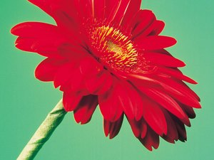 Is Ingesting Gerbera Daisies Harmful to Cats?