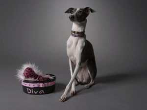 Italian Greyhound With Dry Skin