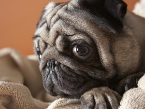 Separation Anxiety in Pugs