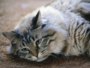 How to Tell if a Cat Is Fatigued