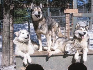 How Do Siberian Huskies Behave?