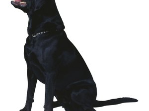 Gastric Torsion in Labradors