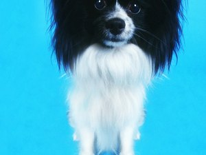 The Advantages & Disadvantages to Owning a Long-Haired Chihuahua