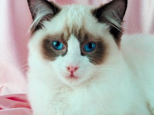 Heart Murmur in Ragdoll Cats