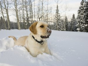 Natural Treatments for a Labrador's Shedding