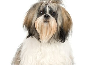 How to Remove Tangles from Shih Tzu Hair