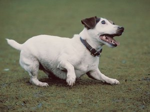 Do Jack Russell Terriers Like to Dig?