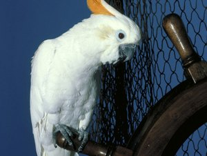 Description Of a Cockatoo