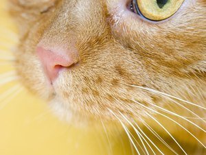Feline Acne in a Cat