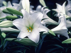 Are Easter Lilies Safe for Cats?