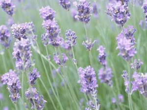 Is Lavender Poisonous to Cats?