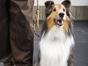 How to Cut the Toe Fur on a Sheltie