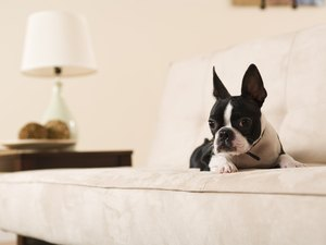Boston Terrier Tear Ducts