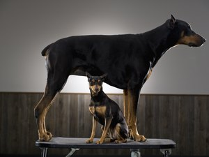 Renal Disease in Dobermans
