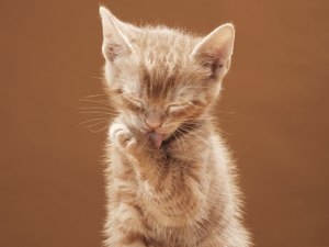 Can Ear Mites Cause Excessive Licking & Biting in Cats?