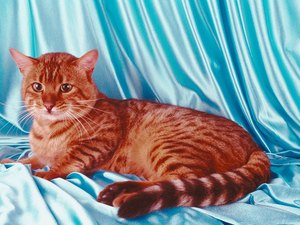 Asian Leopard Cat Behavior