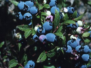 The Healthful Properties of Blueberries