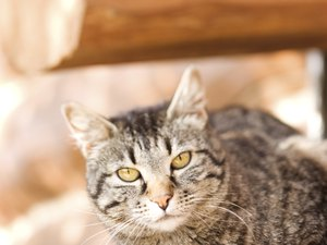 Chronic Rhinitis in Cats