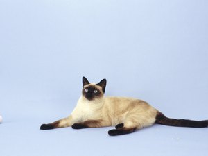What Causes a Variation in Color in Siamese Cats?