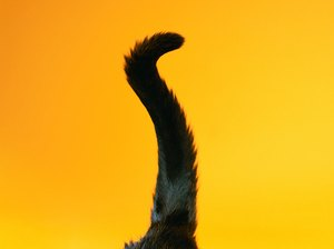 Why Do Cats Always Lift Their Tails Up?
