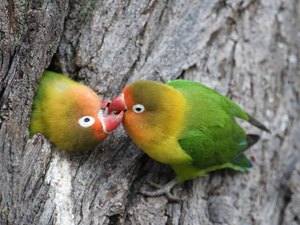 Love Birds Information