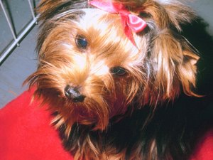 How to Take Care of a Puppy Yorkie's Hair