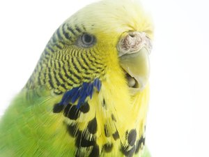 Fatigue in Parakeets