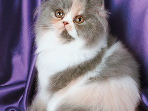 Persian Kittens for Pets