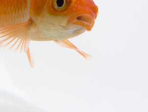 Can You Leave Food for Your Goldfish in the Tank When You Are on Vacation?