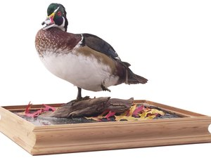 Qualifications for a Taxidermist