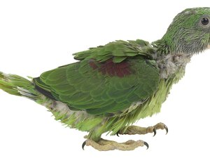 Do a Parrot's Feathers Grow Back After Being Pulled Out?