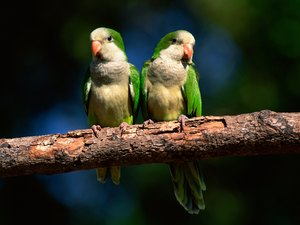 How to Introduce Quaker Parrots