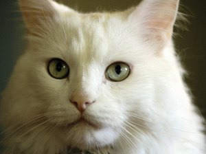 Symptoms of Mites in Cats
