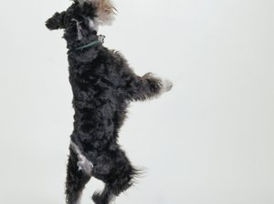 Are Schnauzers Born With Tails?