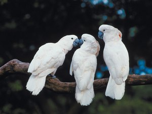 What Causes a Cockatoo to Pluck?