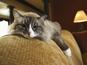 Chronic Pacing in Old Cats