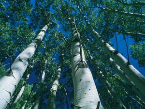 Is White Birch Toxic to Cats?