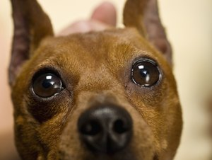How to Retrain a Miniature Pinscher to Potty Outside