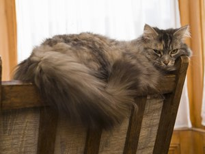 Cat Cold & Pneumonia Symptoms